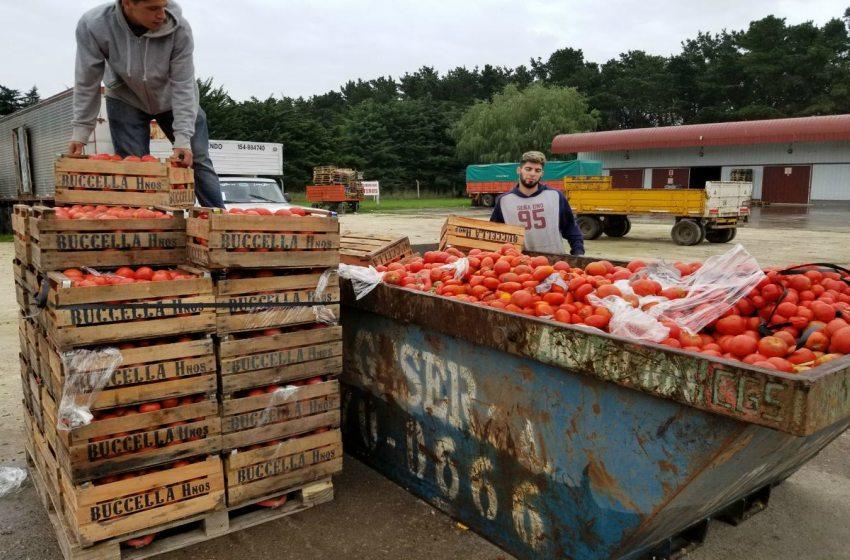 4f3b0586f185 Mar Del Plata  descartan tomates por exceso de oferta y escaso consumo